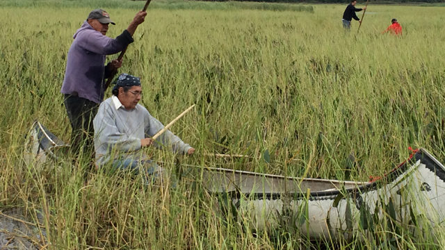 The Ojibwe peoples across the Great Lakes continue to harvest wild rice as they have for hundreds of years.
