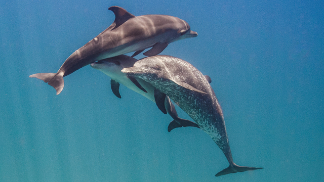 Decoding dolphin communication